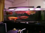 Healthy Asian Red Arowana Fish For Sale